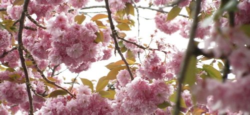 Vancouver-cherry-blossoms