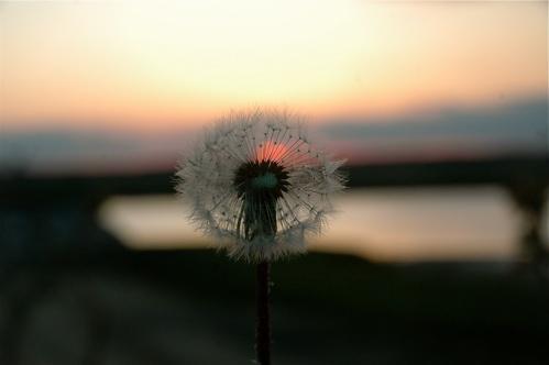 la-porte-rouge-dandelion