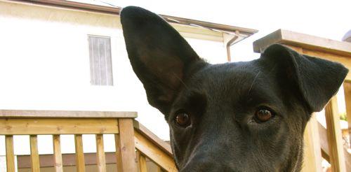 leroy-lopsided-ears