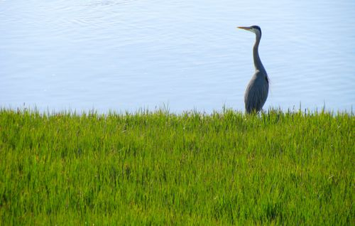 steveston-great-blue-heron