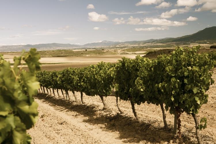 vineyard-in-rioja