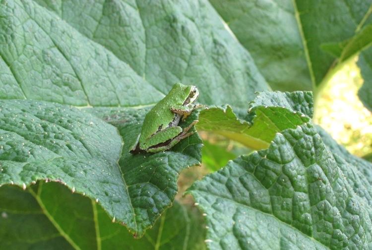 galiano-frog