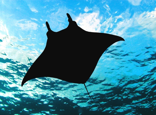 Big Island Hawaii Manta Ray photo by James L. Wing